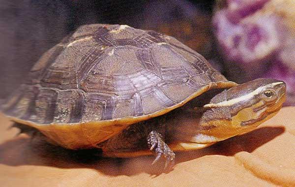 種類 カメ 日本の亀の種類と、その見分け方